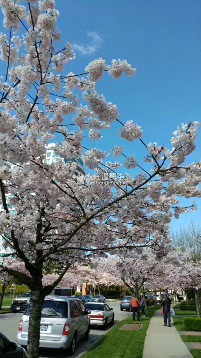 本拿比樱花盛开的日本社区二手靓房急售