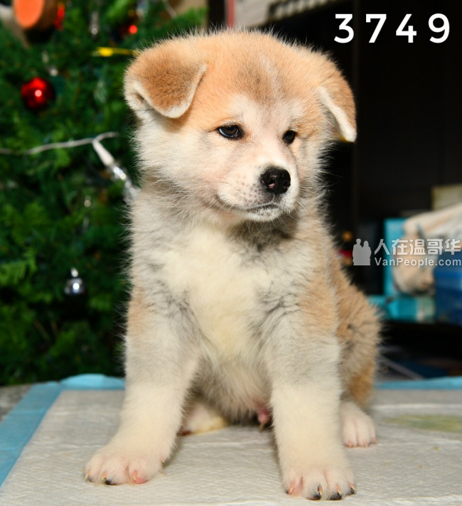2个月大纯种日系秋田犬宝宝2公3母