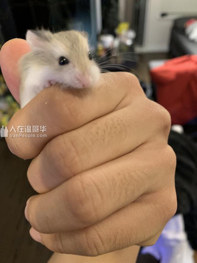 自家繁殖的一月大小仓鼠等待爱鼠之人