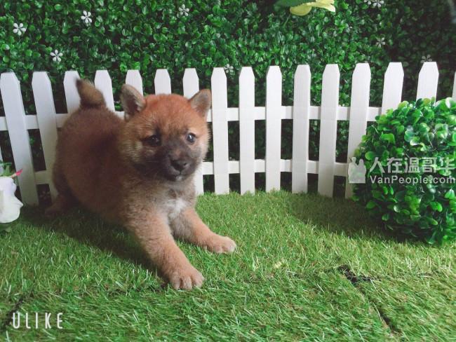 白菜宠物铺 炒鸡可爱的柴犬 1xxx 欢迎来看狗 喜欢直接带走