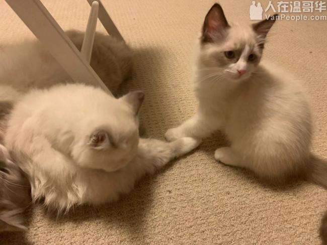 两只两月半小猫,寻找主人,标题字数不够,我在写点啥?