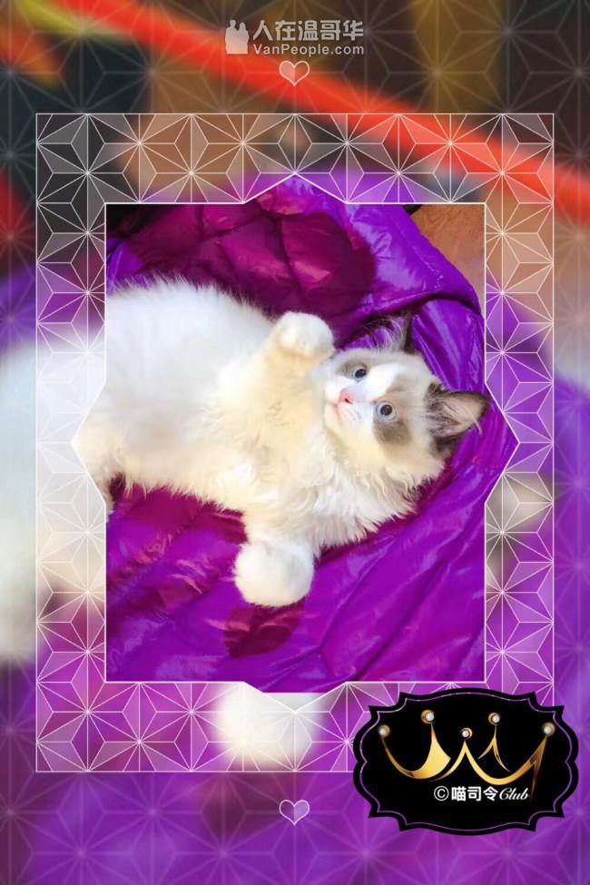 ❤️❤️❤️【喵司令®️】宠物猫专卖❤️❤️❤️     良心卖家➕终身售后