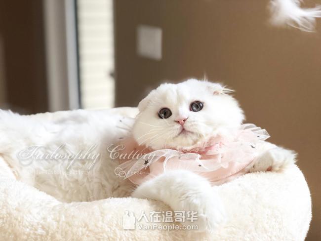 Furlosophy高端英短高地tica/cfa注册猫舍+猫咪用品店 专注繁育甜美脸