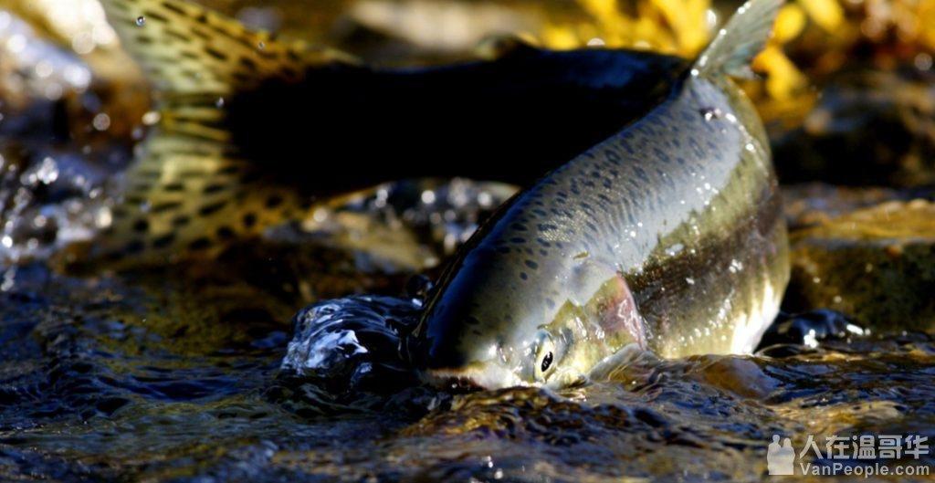 10月21日 鲑鱼Return of the Salmon