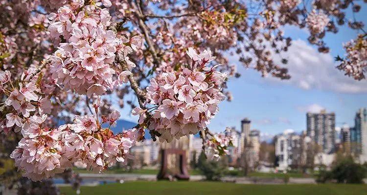 新冠之上,温哥华2020年的春天,樱花依然绽放